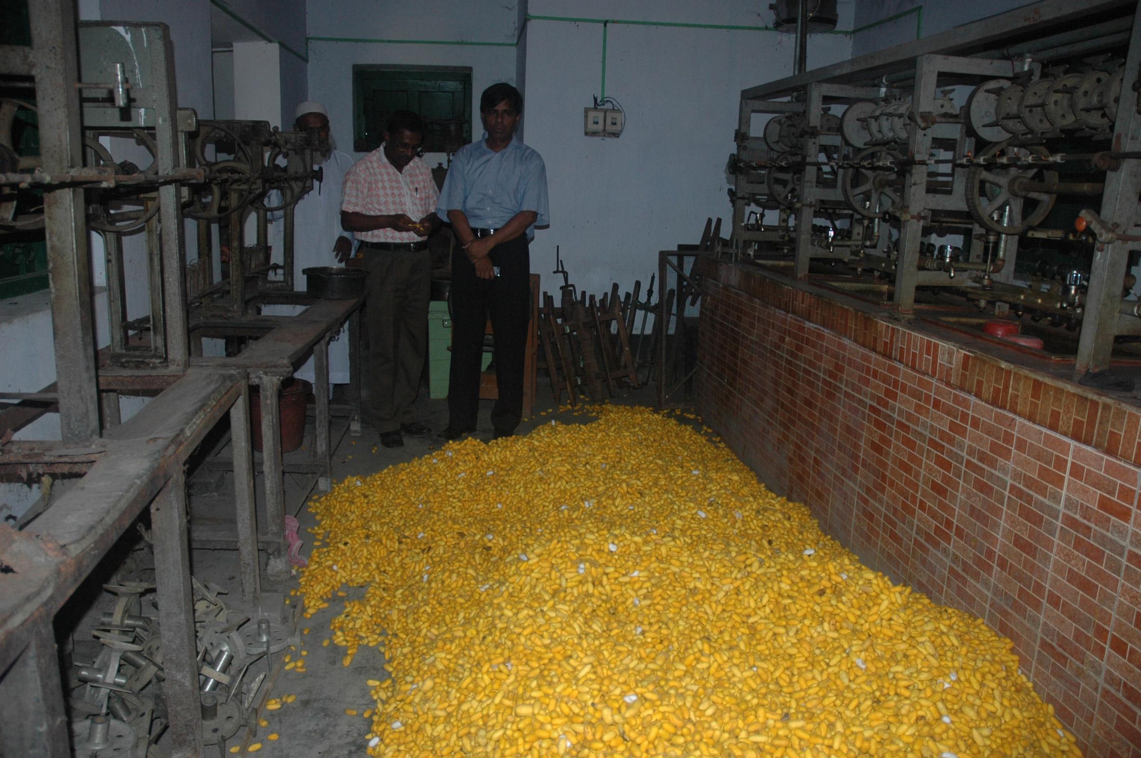 রানীসংকৈল-মিনিফিলেচার-কেন্দ্রে-ক্রয়কৃত-রেশম-গুটি